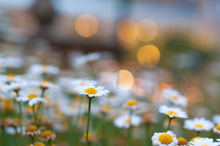 White flower field and orange illumination Imagens - 124937029