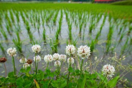 Clover flower blooming by paddy field
