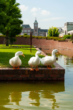 Early morning Western architecture and three white ducks