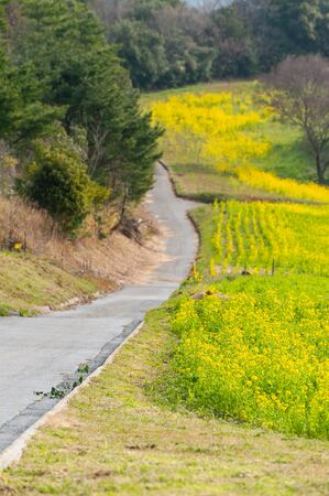 Road along a lot of blooming rape blossoms