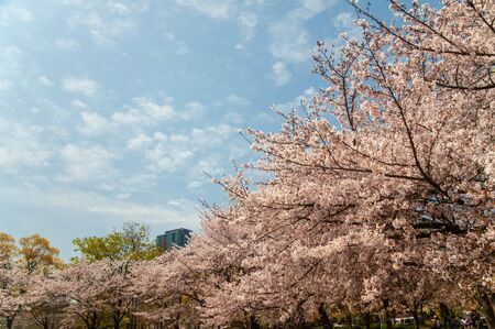 Cherry blossoms in full bloom with blue sky and clouds