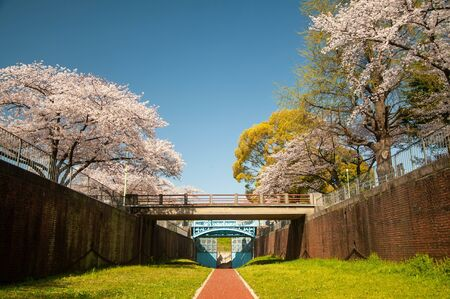 Cherry blossoms and bridge in blue sky and full bloom