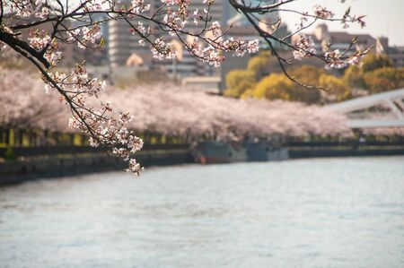 Cherry blossoms along the river in Osaka