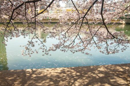 River and cherry blossoms and shadows