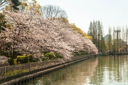 Cherry blossoms in full bloom along the river