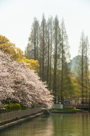 Cherry blossoms and straight trees in full bloom