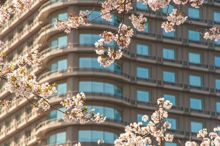 Beautifully lined building windows and cherry blossoms