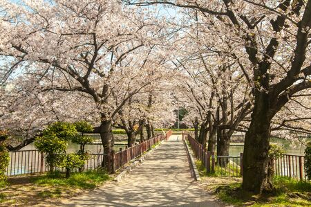 Cherry blossoms blooming on unmanned walkways Imagens