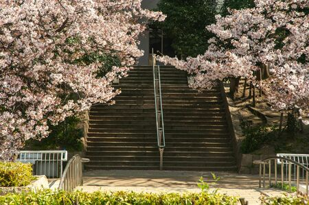 Cherry blossoms blooming to cover the stairs
