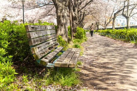 The path of cherry blossoms in full bloom and the shadow of sunlight Stok Fotoğraf