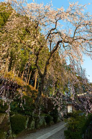 Cherry blossoms along narrow road Imagens