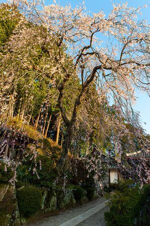 Cherry blossoms along narrow road Stok Fotoğraf