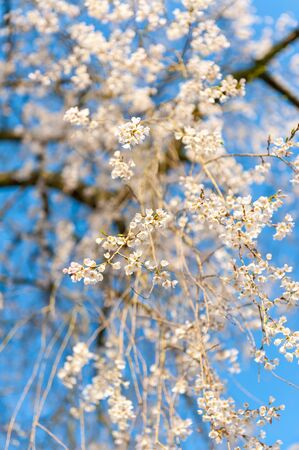 Cherry blossoms that shine in the blue sky and sunrise Imagens