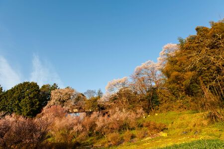 A forest where the cherry blossoms bathing in the morning sun are blooming Stok Fotoğraf