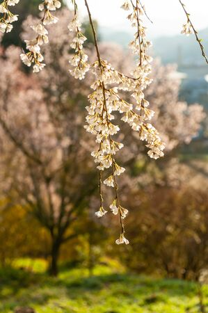Cherry blossoms blooming on a green hill Stok Fotoğraf