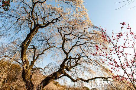 Huge cherry blossoms extending to the blue sky Stok Fotoğraf