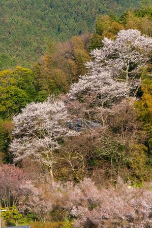 Cherry blossoms blooming in the mountains Stok Fotoğraf