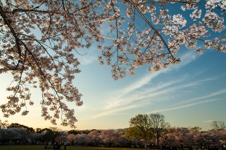 Cherry blossoms shine at sunset