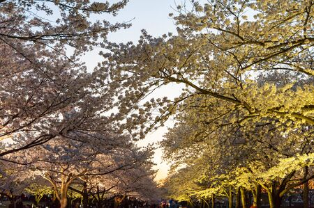 The cherry blossoms are in full bloom when the sun falls and lights up Imagens