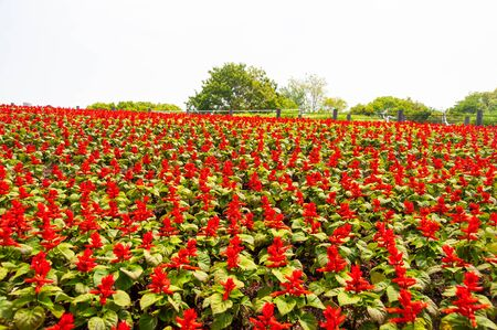 Flower field with red flowers in full bloom