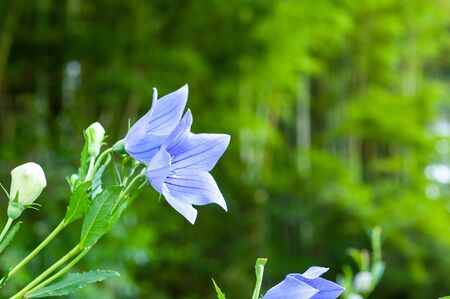 A flower of a blossoming bellflower