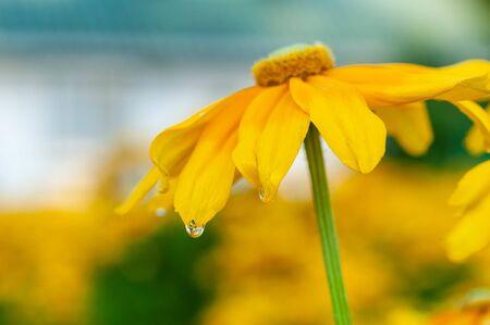 Rudbeckia blooms flowers energetically Stok Fotoğraf