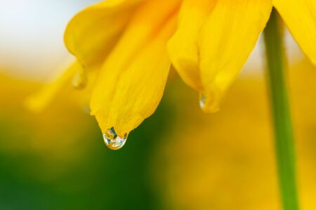 Water drops on rudbeckia flower