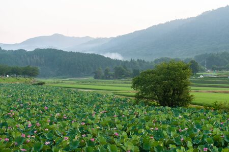 Lotus field and trees in the countryside Imagens