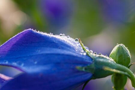 Many water drops attached to the flower of bellflower