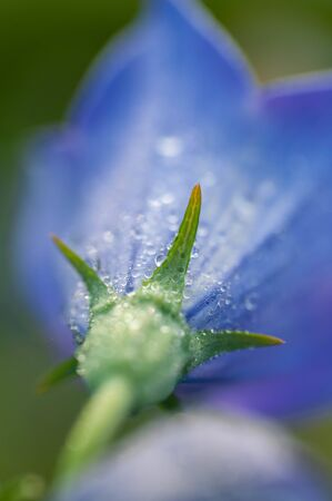 Many water drops attached to the petals of bellflower Imagens