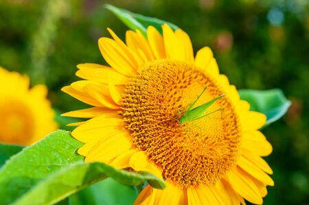 Grasshopper with flowers of sunflower