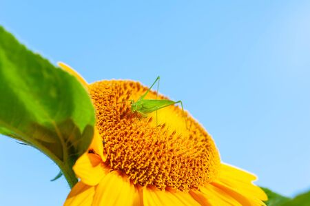 Grasshopper and blue sky with flowers of sunflower Imagens