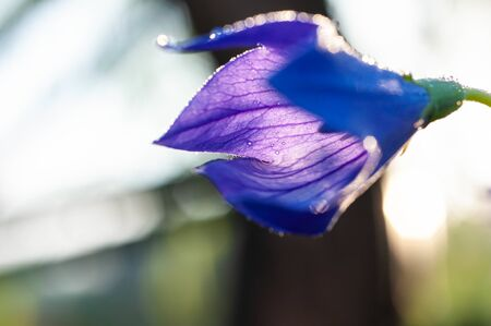 Beautiful bellflower flower up photo