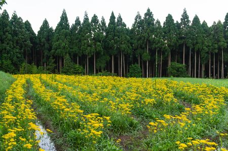 Yellow flower planted in a rural area of Kyoto 免版税图像