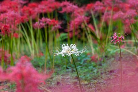 Red cluster amaryllis blooms in full bloom at Buturyu temple in full bloom