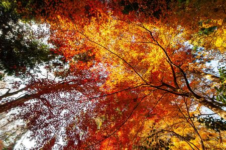 Autumn leaves shining in red, orange and yellow
