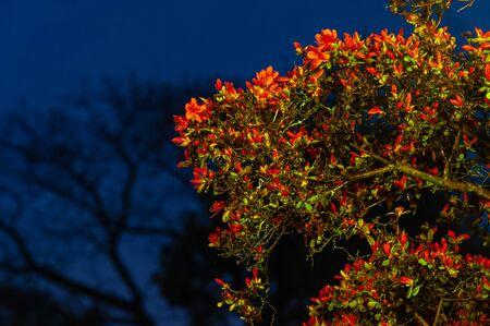 Nagaoka Tenmangu Shrine at dawn when azaleas bloom