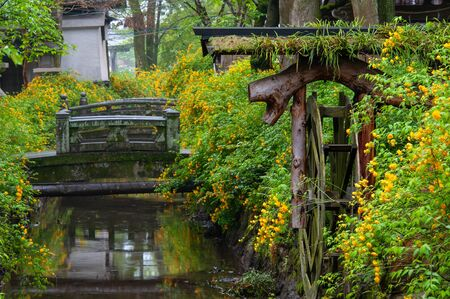 Japanese rose, and watermill in full bloom