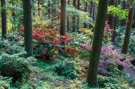 Colorful azalea blooming in the forest