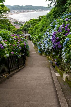 Hydrangea blooming on a long slope with a view of the sea