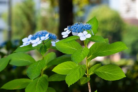 Blue and white hydrangea flowers blooming side by side