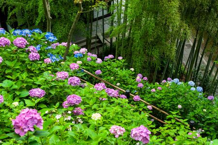 Hydrangea blooming on bamboo forest and steep slope 写真素材