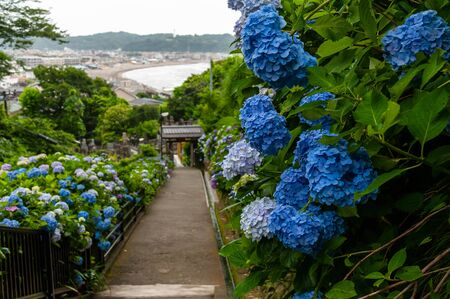 Long hill and blue hydrangea overlooking the sea
