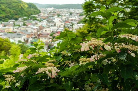 Hydrangea blooming on the hill seen from the city