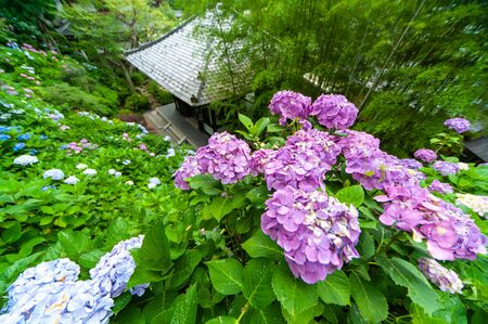 Hydrangea and Japanese-style roof taken in a super wide angle