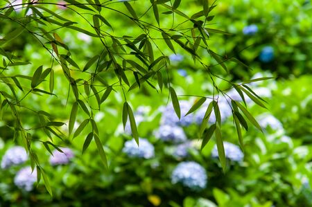 Many hydrangea flowers and bamboo leaves 写真素材