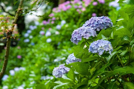 Blue hydrangea in a place with lots of flowers 写真素材