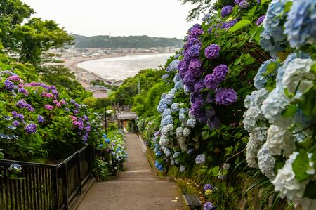 Hydrangea blooming on a long slope where you can see the sandy beach 写真素材