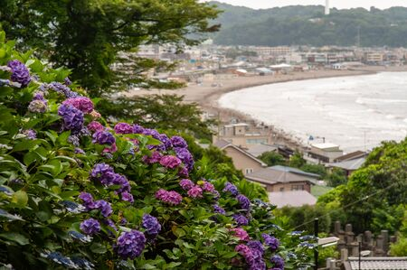Hydrangea blooming on the hill seen by the sea
