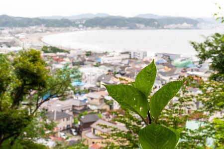 Hydrangea leaves on the hill where you can see the sea 写真素材